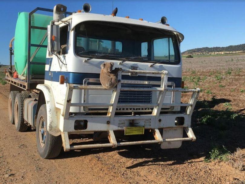 Un Koala prêt à être écrasé par un camion