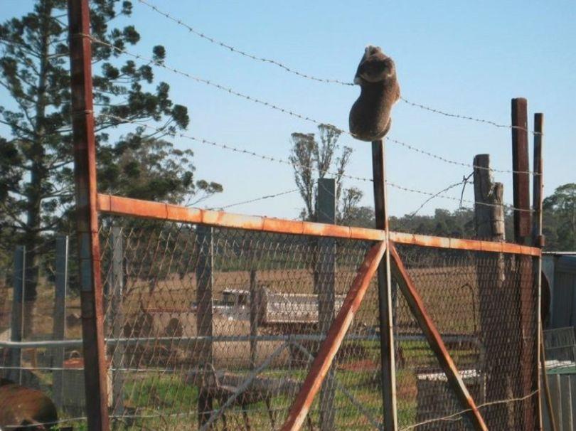 Un Koala qui tente de se raccrocher sur le fil de fer barbelé d'une clôture
