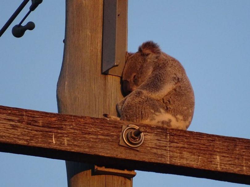 Un Koala en plein sommeil sur un Poteau électrique