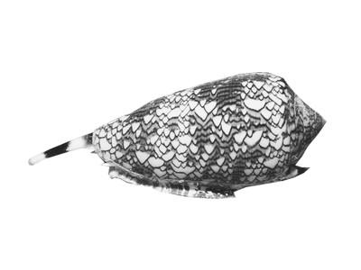 Coquillage cone shell Australie