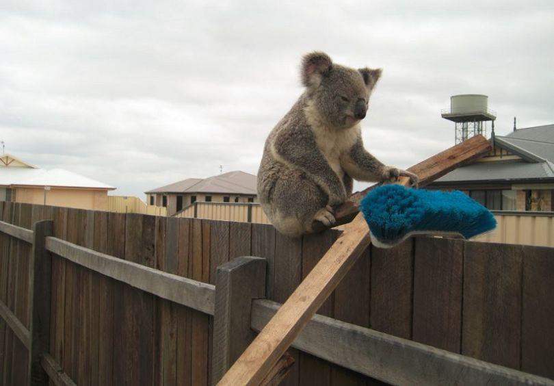 Un Koala sur une clôture en bois