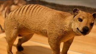 Le tigre de Tasmanie est-il toujours en vie ?