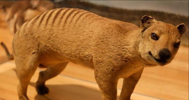 Tigre-de-Tasmanie (Le tigre de Tasmanie ou Thylacine)