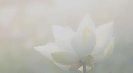 White%252520lotus%252520flower%252520or%