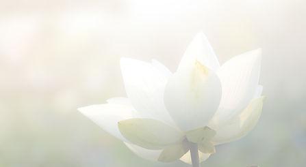 White%2520lotus%2520flower%2520or%2520wa