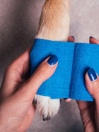 Girl putting blue bandage on injured dog