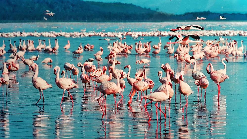 Pink flamingo lake- Nakuru,Kenya