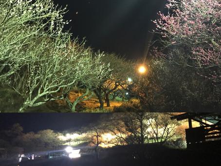 湯河原梅林 期間限定でライトアップをしております。