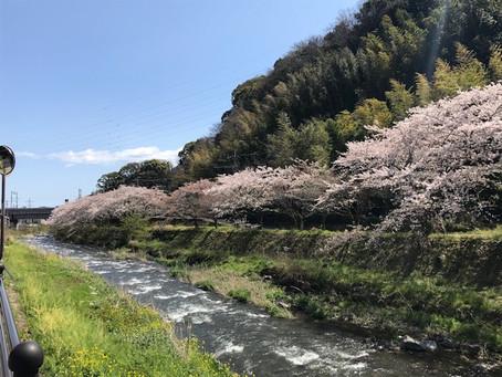 桜満開です。
