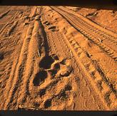 Tiger paw prints in road.jpg