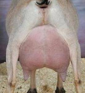 Nutmeg - rear udder