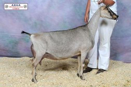 D: SGCH Windrush Farms IRS Saffron 5*M