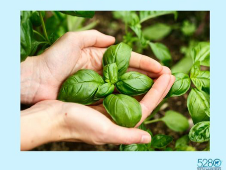 Dried Basil Leaves Can Be Used To Help Naturally Whiten Your Teeth!