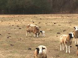 Jacobs on pasture