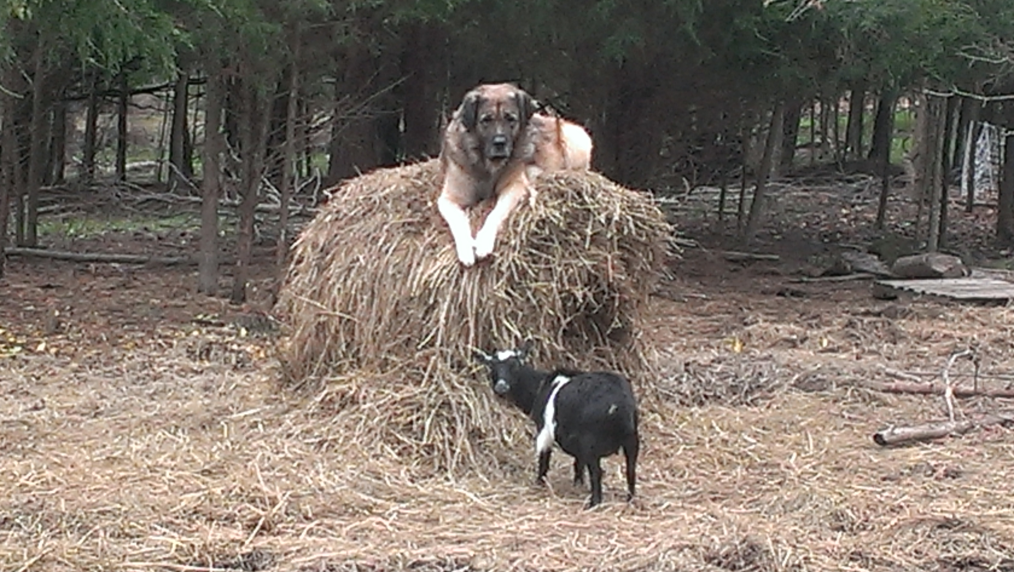Herc on the haybale watching Comet