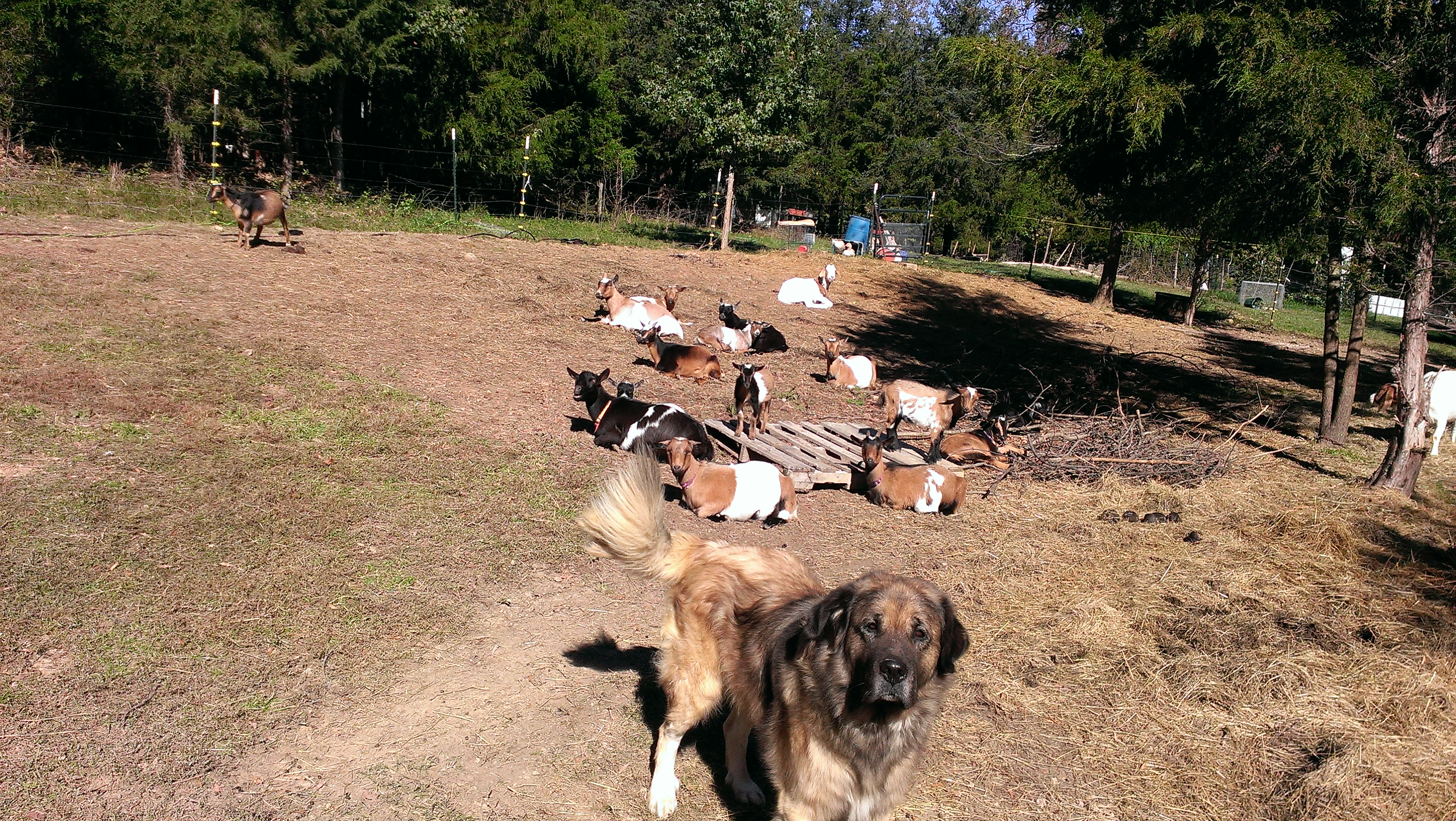 Herc and his goats