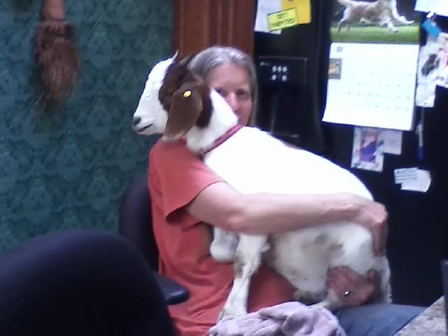 Peanut still a lap goat