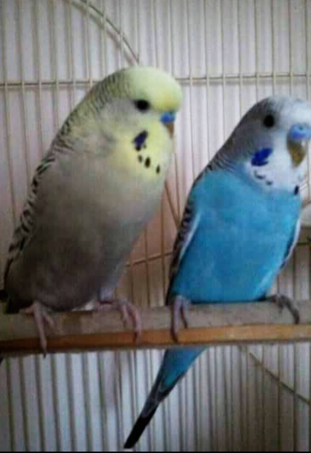 Our Boys the Budgies