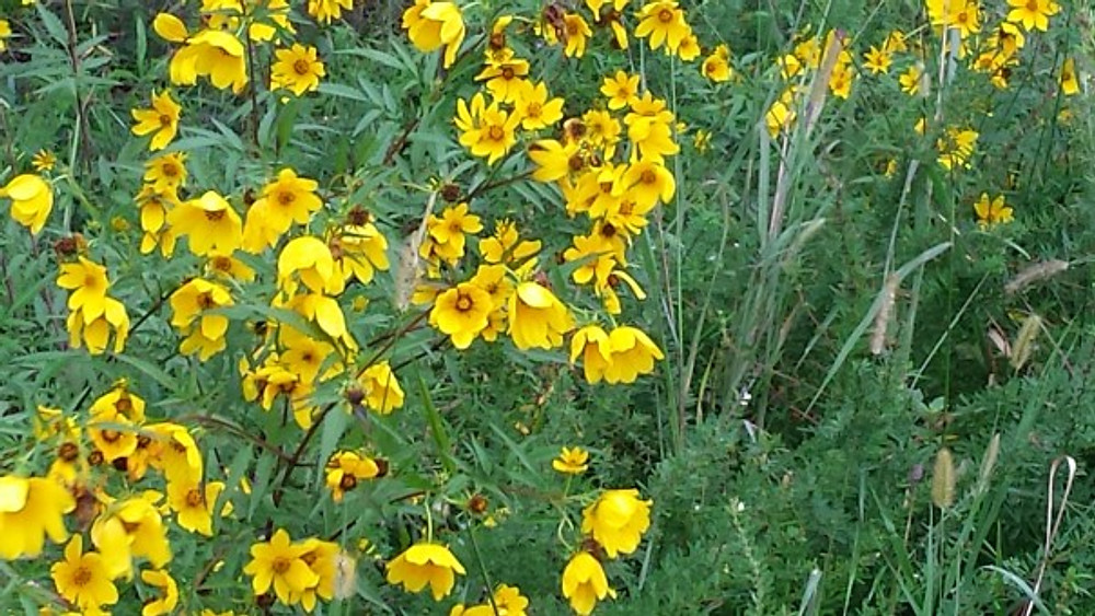black/brown eyed susans