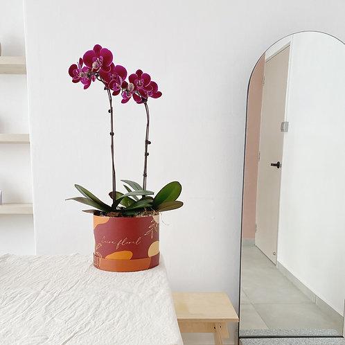 Velvet Phalaenopsis Box