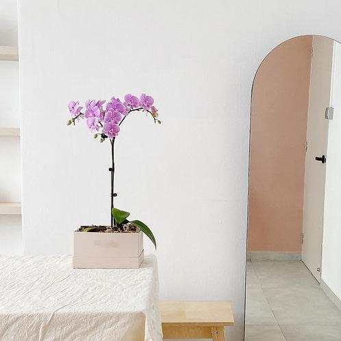 Zen Lilac Phalaenopsis Box
