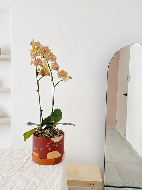 Sunrise Phalaenopsis Box