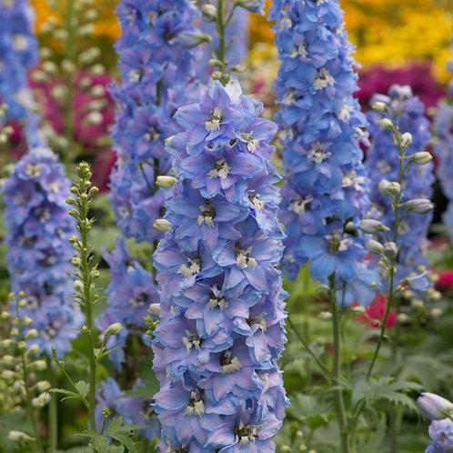 Delphinium Magic Fountain Sky Blue White Bee 1.5L