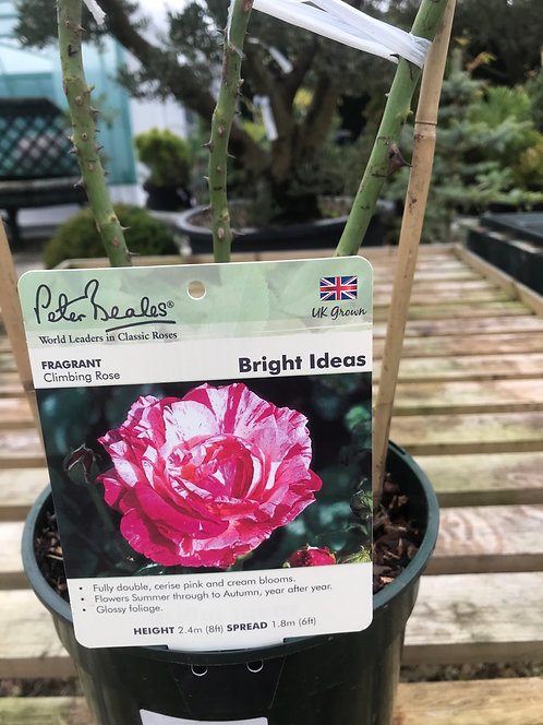 Peter Beales Climbing Rose ' Bright Ideas '