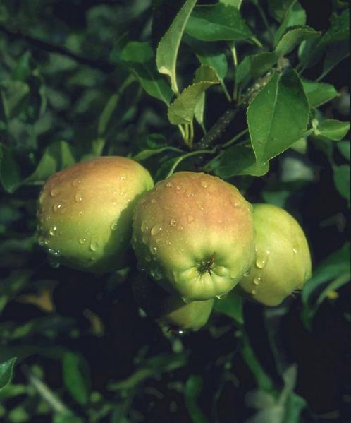 Apple Golden Delicous Bush M26 12L