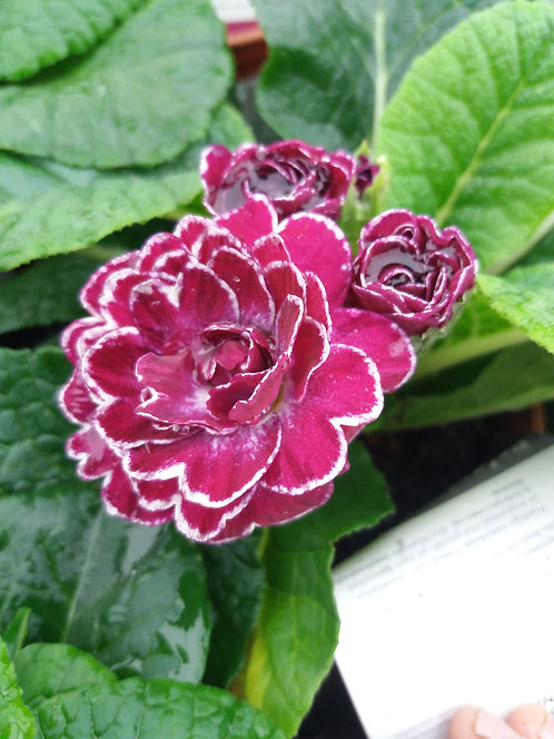 Primrose Double Belarina Candy Frost 10.5cm