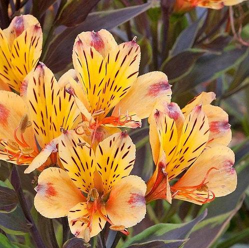 Alstroemeria Summer Breeze 3L