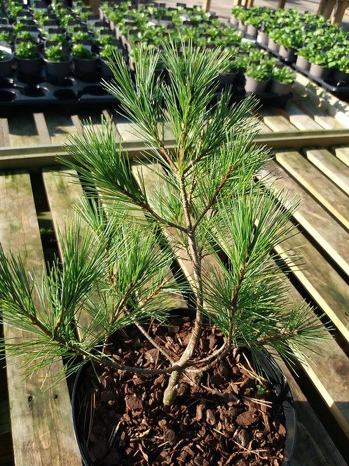 Pinus strobus Elkin's Dwarf 3L