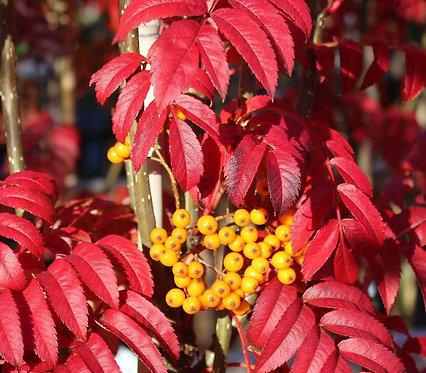 Sorbus 'Autumn Spire' 12L