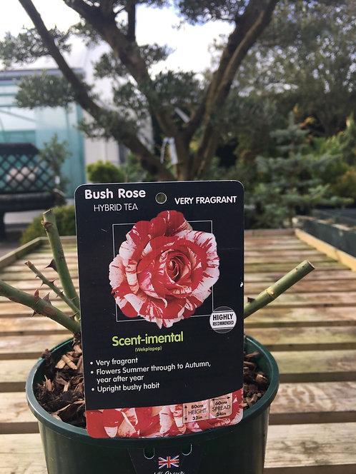 Rose Hybrid Tea ' Scent-imental'