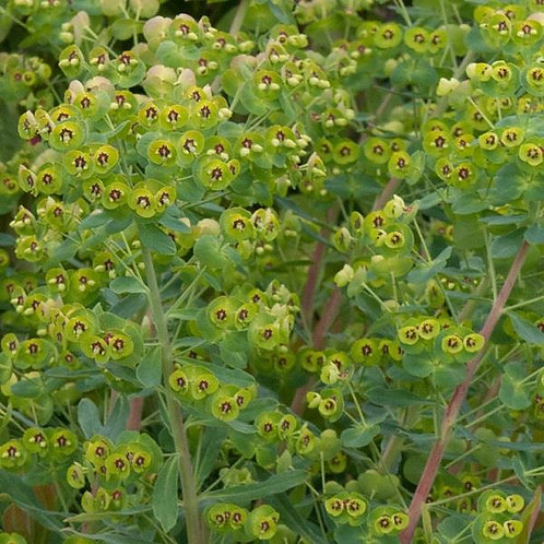 Euphorbia martinii 3L