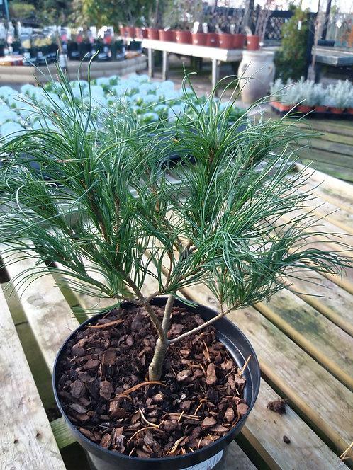 Pinus strobus Torulosa 3L