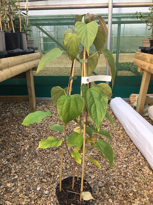 Clerodendron trichotomum fargesii 3L