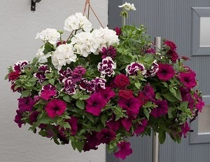 "Berry Swirl 14"" Wicker Hanging Basket"