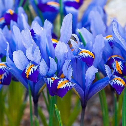 Iris Alida 9cm