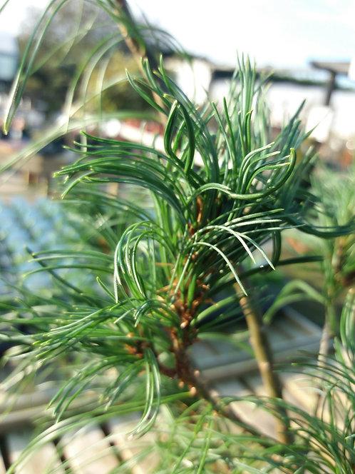 Pinus strobus Contorta 5L