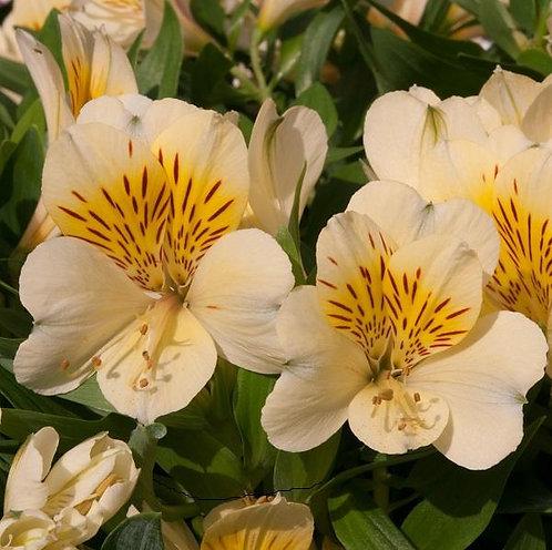 Alstroemeria Inticancha Cabana 2L