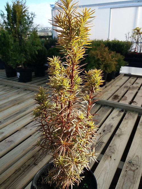 Taxus xmedia Stefania 3L