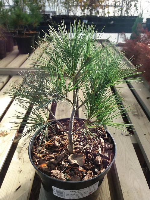 Pinus strobus Minuta 3L