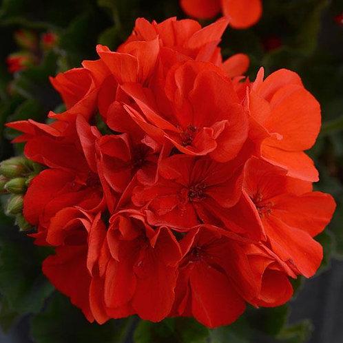 Geranium Fantasia Scarlet 14cm