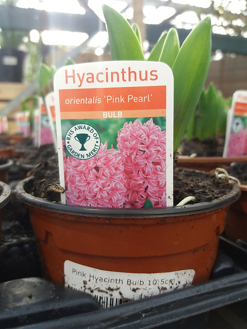 Potted Hyacinth Pink  10.5cm