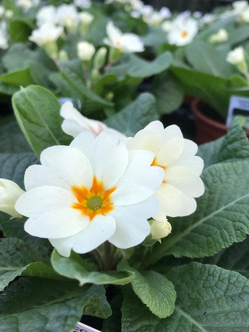 Primrose Cottage Cream 10.5cm