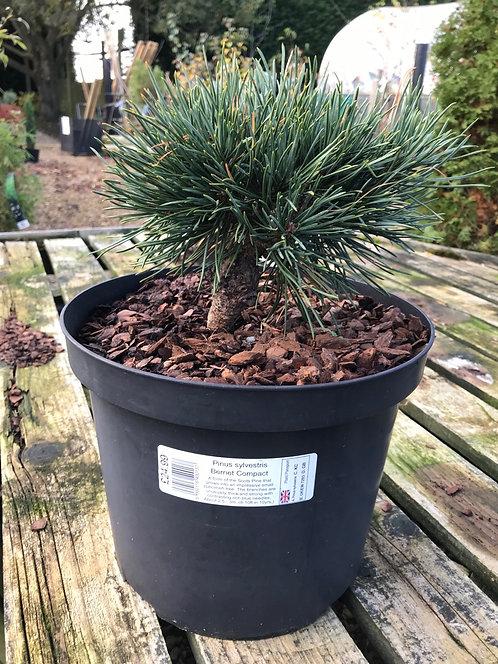 Pinus sylvestris Bernet Compact 10L