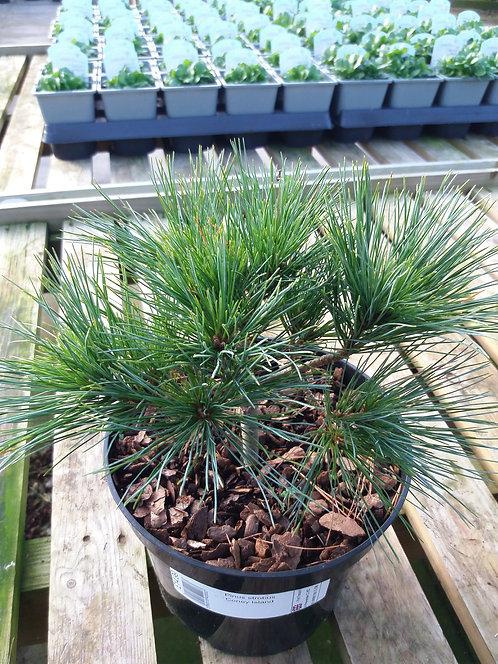 Pinus strobus Coney Island 3L