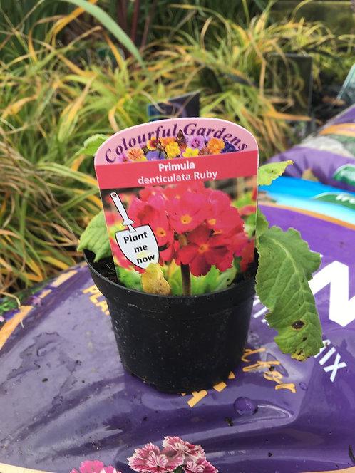 Primula 'denticulata Ruby' 9cm