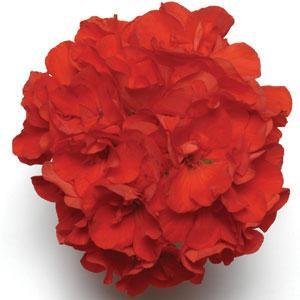 Geranium Designer Bright Scarlet 14cm